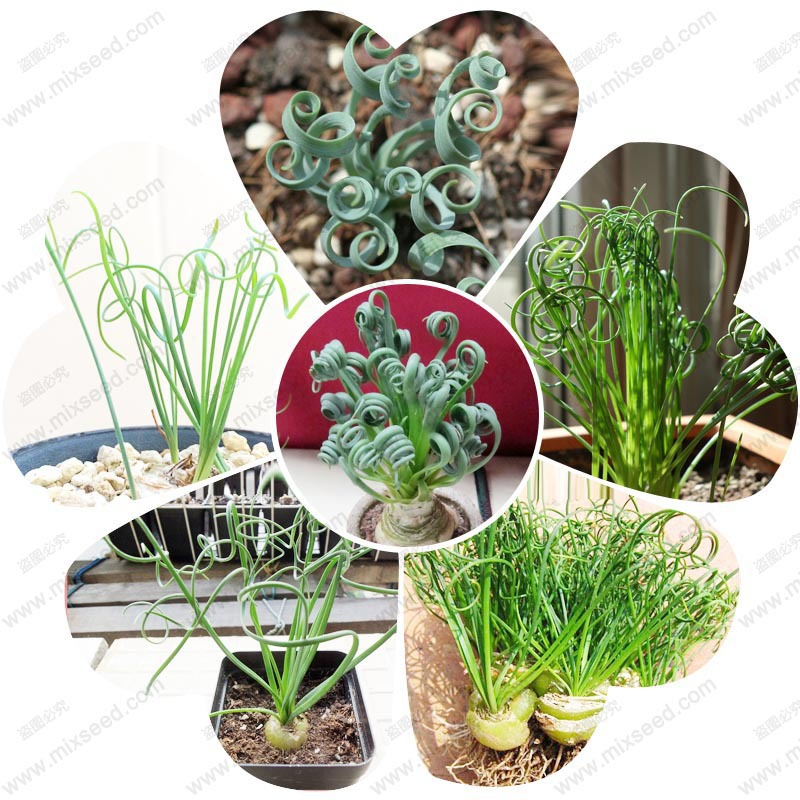Spring grass seed broad leaf grass seed home mini potted flower seeds 50 particles / bag(China (Mainland))
