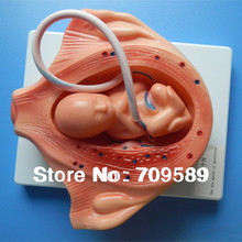 Buy ISO Fetal Development Model, Embryonic development models for $490.00 in AliExpress store