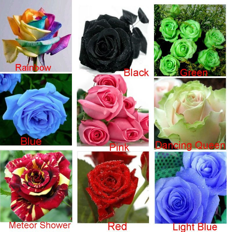 Heirloom 9 Colors 1800 Seeds Rainbow, Black, Green, Blue, Pink, White, Red, Colorful Rose Shrub Flower Seeds, Separated Pack - Laritek Garden Store store