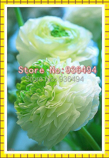 , 200PC rare emerald green core rose seeds, bonsai flowering plants seeds - Real Seeds store