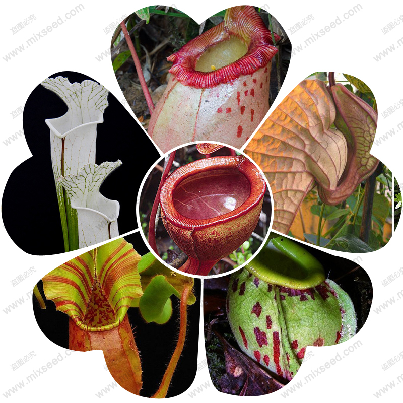 nepenthes plant seed Nepenthes seeds flytrap plant seeds 50 particles bag