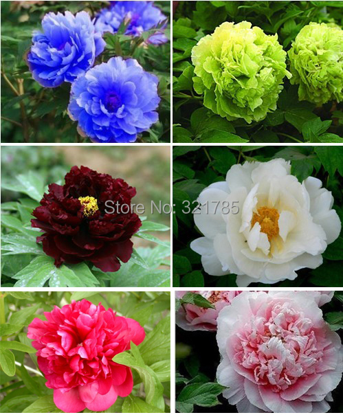 6 Packs Chinese Blue Green White Black Pink Red Peony Flower Seeds /1 Pack 20 Color Total 120 - Spring Garden store