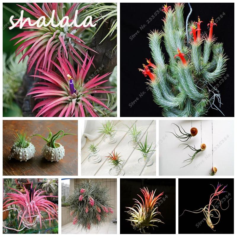 New 100 Pcs/bag Pineapple Seeds DIY Bonsai Seed Succulentas Mini Plants Balcony Potted Tillandsia Seeds Cactus Garden Grass Pots(China (Mainland))
