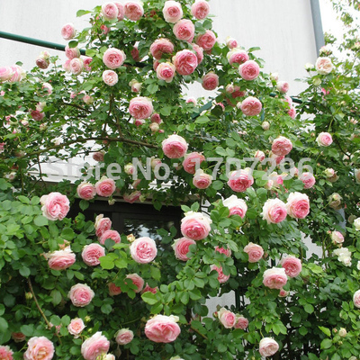 Climbing Plant Polyantha Rose Seeds DIY Home Garden Courtyard Pot Flower (A017) - 20 pcs / lot(China (Mainland))