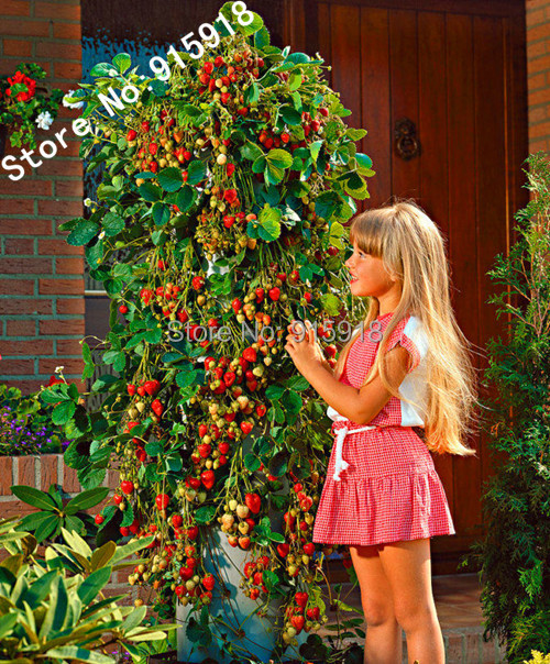 fruit seeds 100pcs everbearing 39 mount everest climbing strawberry huge producer bonsai. Black Bedroom Furniture Sets. Home Design Ideas