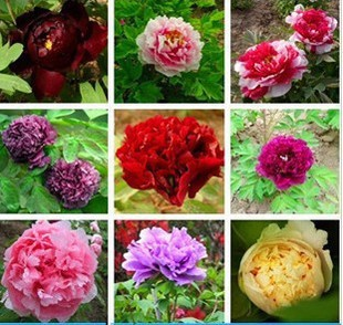 100 seeds Multi Color Peony flower Seed Chinese potted flower,100 seeds/lot(China (Mainland))
