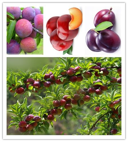10 Seeds/Pack, Delicious Round Plums Fruit Tree Seeds + Good Quality + Mysterious Gift(China (Mainland))