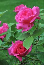 Buy 100 Rose Zephirine Drouhin Seeds Bourbon Heirloom Pink Rose Climber Climbing Rose Seeds Bonsai Flower Garden Plants Seeds for $2.40 in AliExpress store