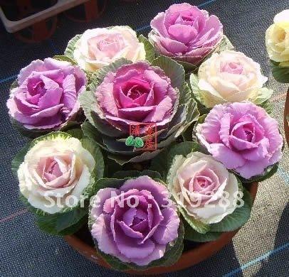 5pcs/bag Mini cabbage Seeds DIY Home Garden