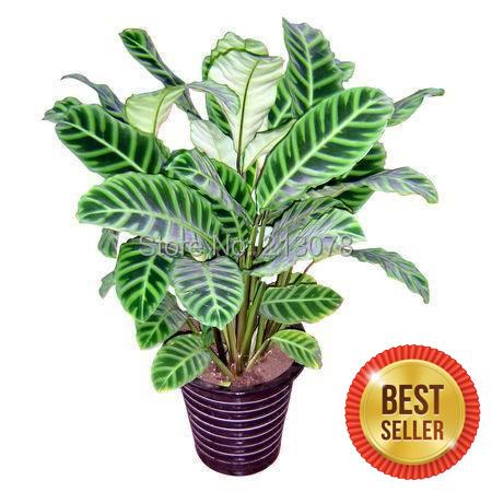 Thalia dealbata seed seed arrowroot water Cuiye arrowroot can purify the air absorb formaldehyde 100 seeds
