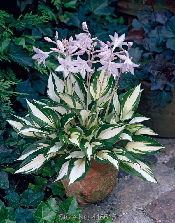 Acheter Graines Hosta Hosta Fire And Ice Graines Ombre Vivaces Plantain Lily