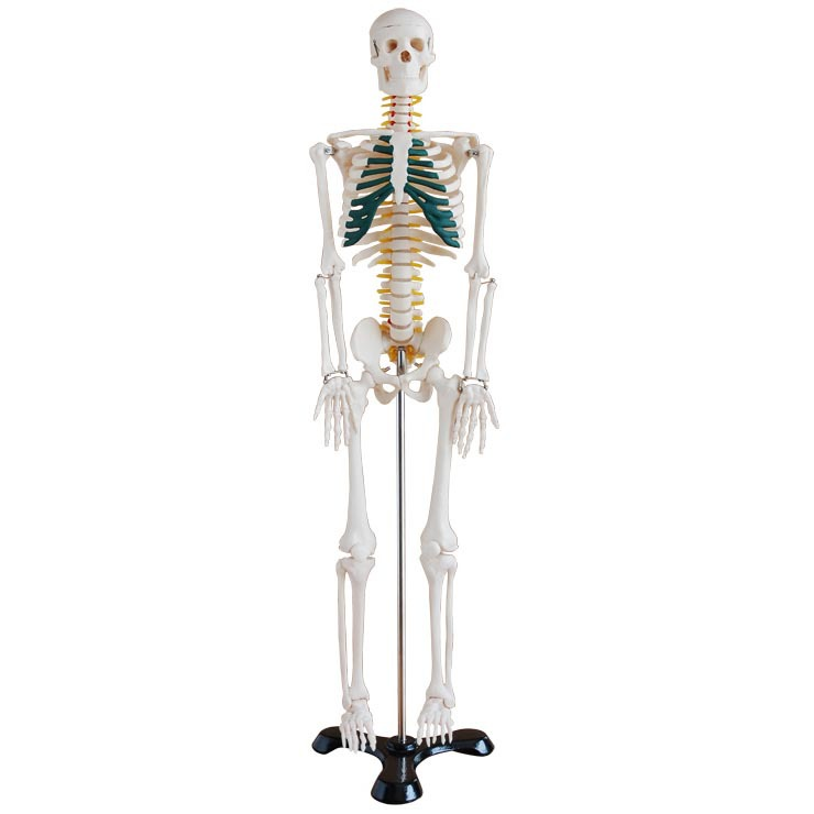 Medicine the human body skeleton with a model 85 cm medical teaching model for the human body skeleton model skeleton(China (Mainland))