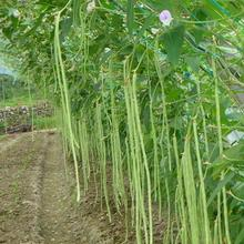 20PCS/Bag Green Loosened Beans  Seed Long Bean Vegetable Seed Potted Plant Seeds Grow Faster(China (Mainland))