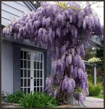 2014 New Freeshipping Outdoor Plants Easy Muscipula Top Sale ,purple Seeds,wisteria Flower,chinese Bonsai - Seeds seed seeds store