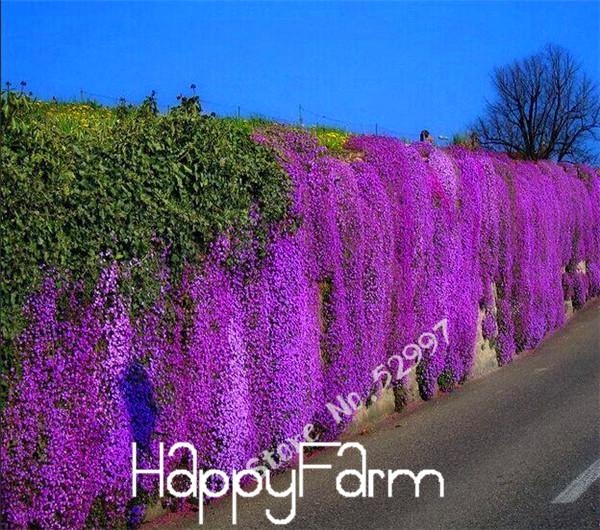 100 Seeds lot Rock Cress Aubrieta Cascade Purple FLOWER SEEDS Superb perennial ground cover for home