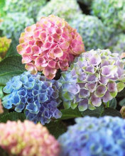 Buy 100pcs/pack hydrangea seeds, potted balcony, planting simple, budding rate 95%, radiation absorption, mixed colors for $1.03 in AliExpress store