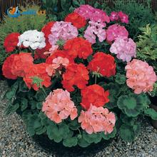 10 Pcs / Bag Geranium Seeds Potted Balcony Planting Seasons Pelargonium Potted Sprouting 95% Mixed Color