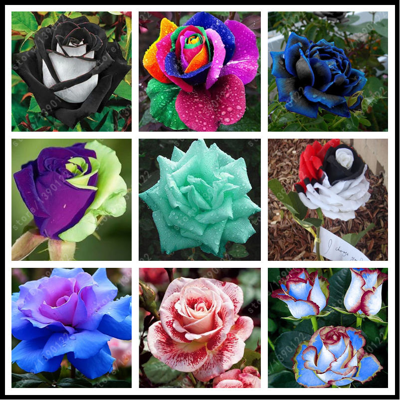 200pcs/bag rare mixed COLORS rose seeds rainbow rose seeds bonsai flower seeds black rose rare balcony plant for home garden(China (Mainland))