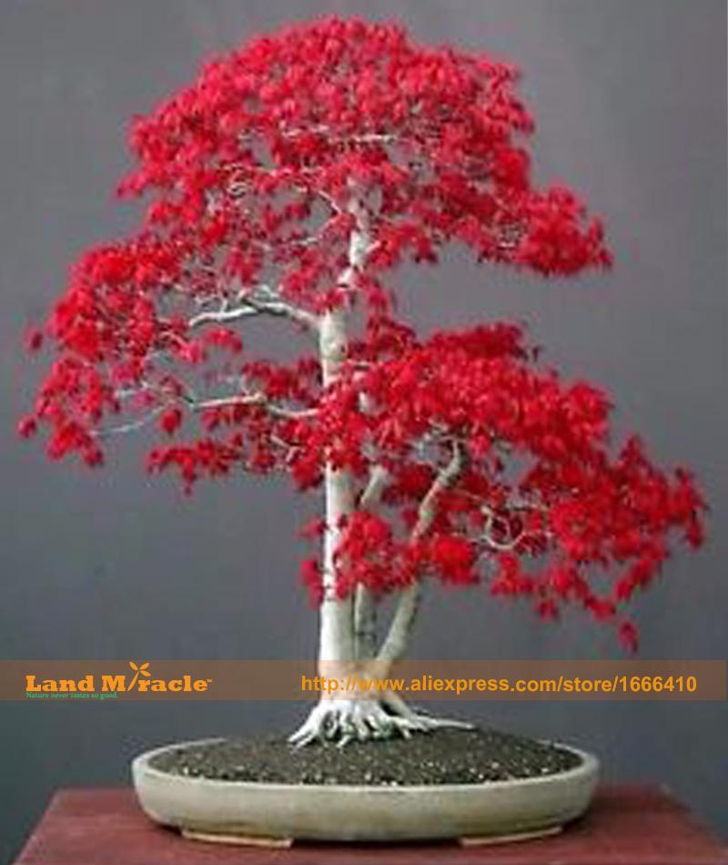 arbre rouge d 39 rable achetez des lots petit prix arbre rouge d 39 rable en provenance de. Black Bedroom Furniture Sets. Home Design Ideas