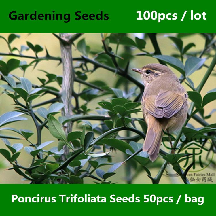 Hedgerow Poncirus Trifoliata Gardening Seeds 100pcs, Family Rutaceae Trifoliate Orange Seeds, Ornamental Plant Gou Ju Tree Seeds(China (Mainland))