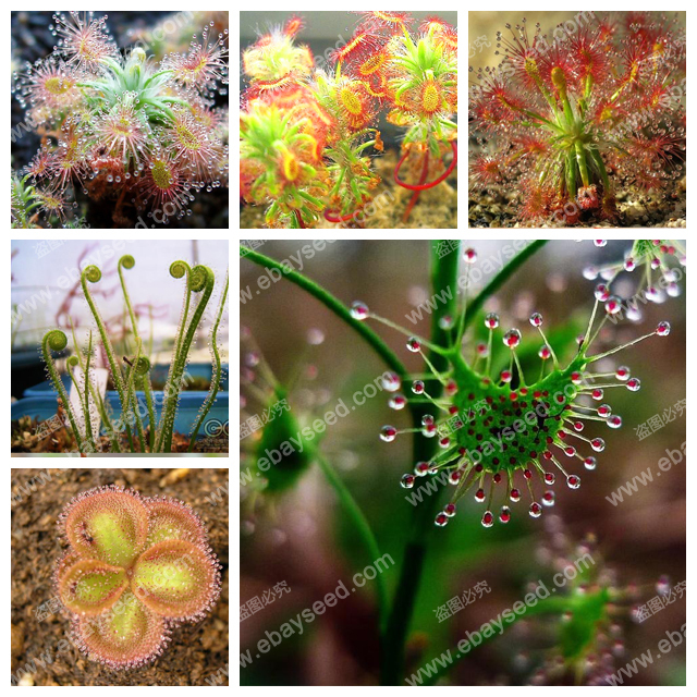 Sundew Clip Venus Flytrap Seeds Insectivorous seed Garden Plant Seeds Bonsai Family Potted 100 PCS