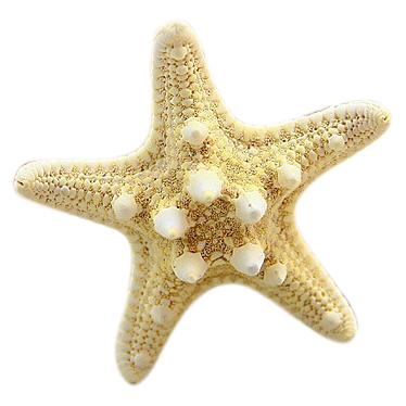 Sunshine fashion natural starfish hair clip hair jewelry(China (Mainland))