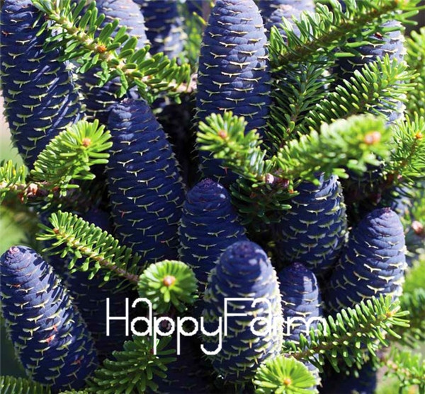 buy 20seeds bag korean fir abies koreana seed flower bonsai plant diy home. Black Bedroom Furniture Sets. Home Design Ideas