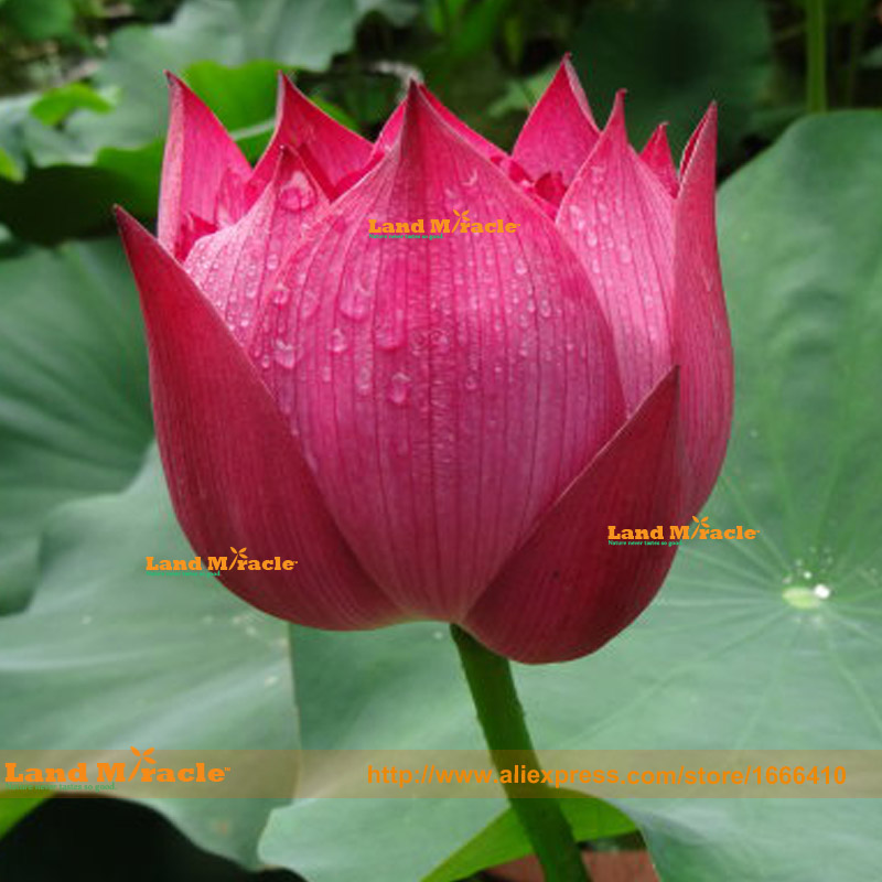 Popular planting pond plants buy cheap planting pond for Cheap pond plants