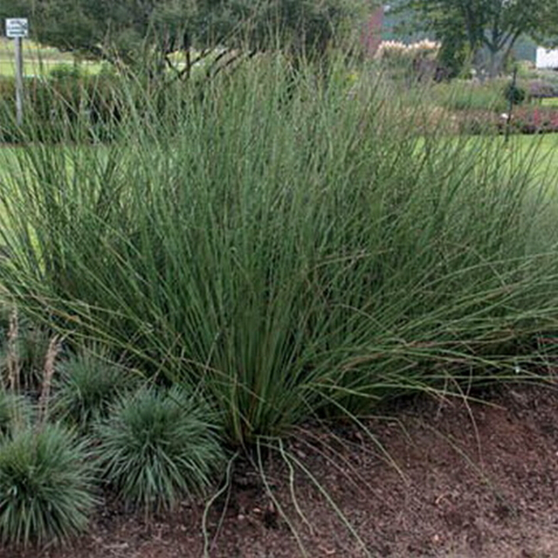 Popular ornamental grass varieties buy cheap ornamental for Hardy ornamental grasses