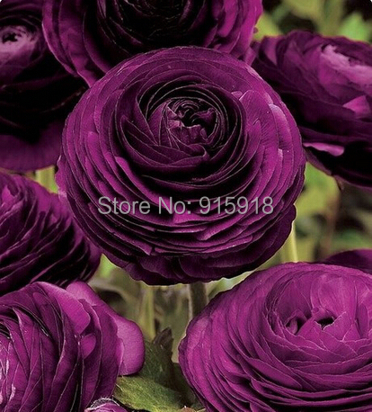 Bonsai flower seeds 50Pcs Ranunculus asiaticus Flower Seeds For Home Garden DIY Plants Persian Buttercup Seed Free Shipping(China (Mainland))