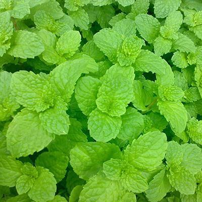 Seeds Vegetables New Fresh Lemon Mint Herbs Balm Heirloom Seeds Melissa Herbs 1 Pack 30 Seeds(China (Mainland))