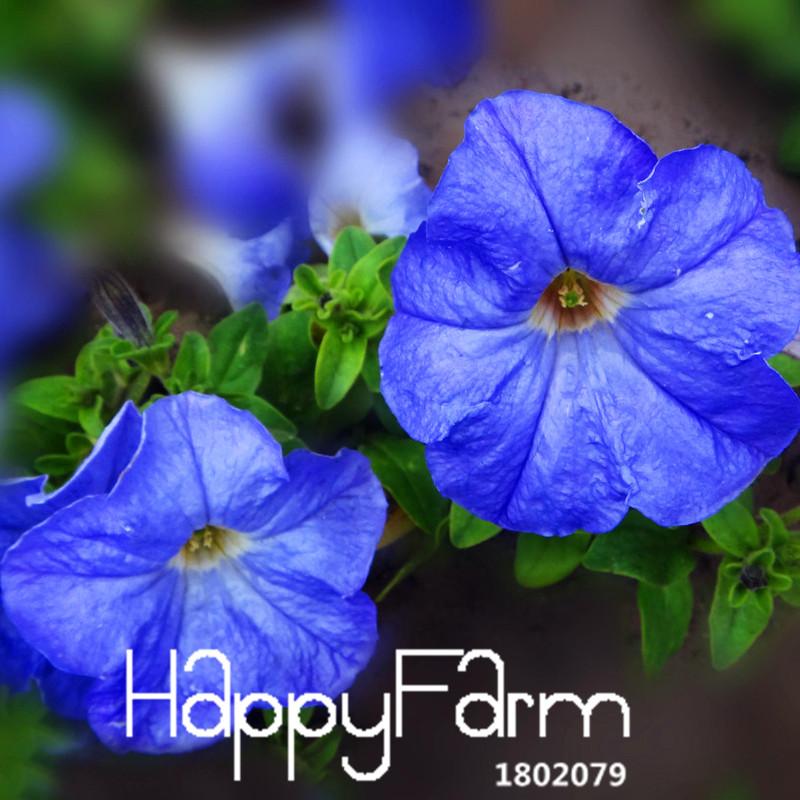 New Arrival 2015!50 PCS/lot Blue Petunia Seeds Garden Home Bonsai Balcony Flower Petunia Flower Seeds,#XLHNU3(China (Mainland))