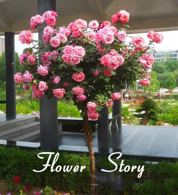 Buy 50 pink chinese lovely rose tree seeds beautiful flowereasy to grow ideal - Garden decor stores ...