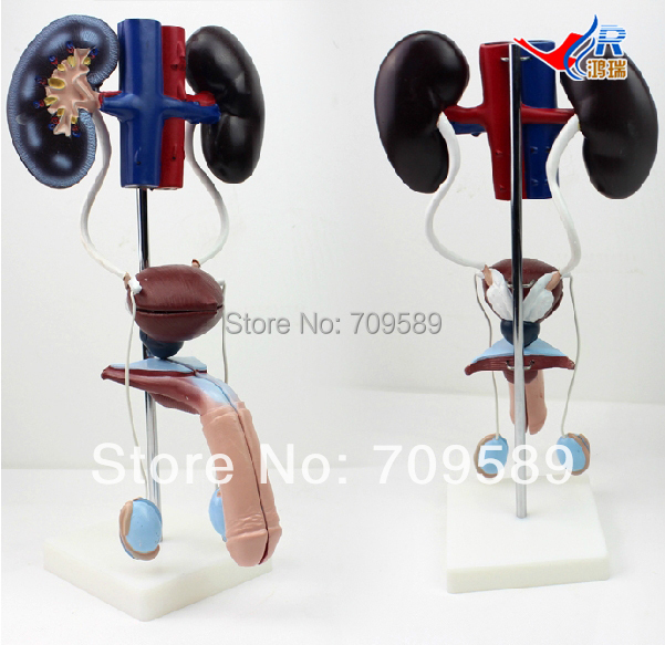ISO Anatomical Model Urinary system, Male Urogenital System Model