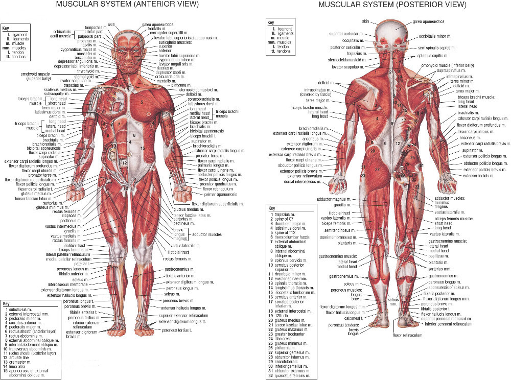 0082 Human Body Anatomical Chart Muscular 2 pcs seperate Poster large 24x37 inch Muscular System wall poster(China (Mainland))