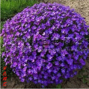 20 seeds/pack Blue Chamber mustard seeds bonsai flower pots planters - factory r store