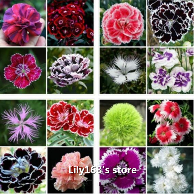 Promotion! 100 seeds/pack Dianthus Seeds , 16 kinds mixed packed, Sweet William flower, easy to grow ,high germination DIY garen(China (Mainland))