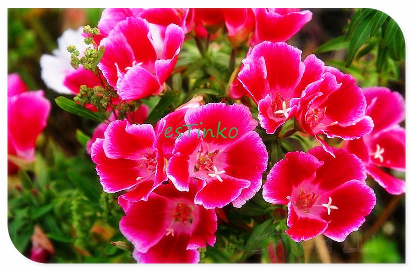 Beautiful Flower, Satin Flower Seeds, 50pcs/bag, Garden Balcony Bonsai Flower, Bonsai Seeds, Flower Seeds, Free Shipping(China (Mainland))