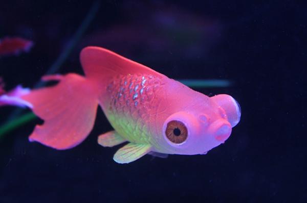 Poisson rouge aquarium fish promotion achetez des poisson for Promotion poisson aquarium