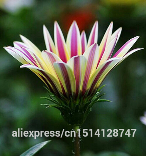 Flower seeds Gazania rigens, potted flowers gazania seeds, sunflowers Africa,about 50 particles(China (Mainland))