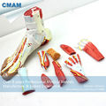 CMAM MUSCLE11 Medical Anatomical Foot Model with 9 Parts Removabe Muscle and Vessels