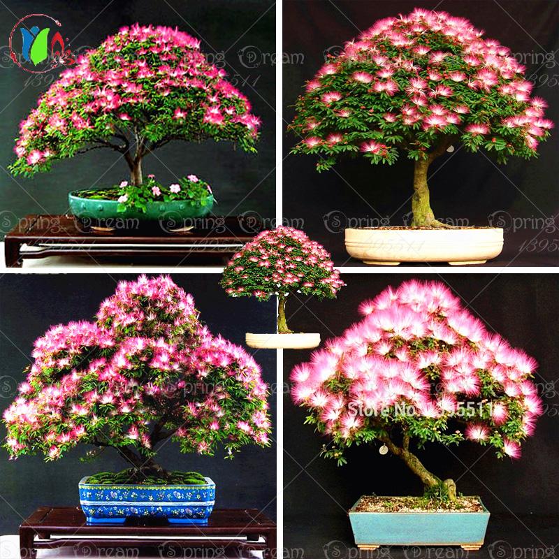 10 unidades albizia flor bonsai semillas mimosa llamadas - Arbre ver a soie ...