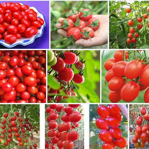 Cherry tomato seeds,red tomato cherry tomatoes,Original Package vegetables fruit seed about 30 particles(China (Mainland))