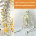 CMAM SKELETON05 Middle Skeleton Anatomy Model with Spinal Nerve 85cm Skeleton Model for Medical Science Best