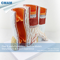 CMAM HEART16 Artery Vein Structure Anatomical Model for Medical Science