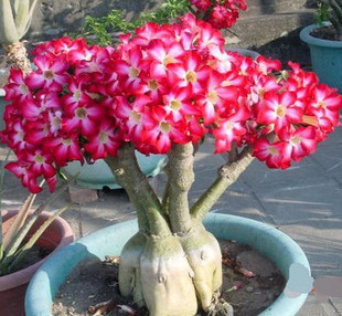 Red Desert Rose Seeds Adenium Seed Potted Garden Ornamental Plant Seeds 5pieces/pack