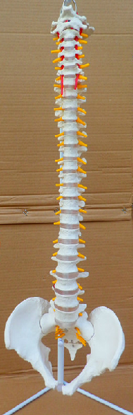new arrival model the body of the 45cm spine model spine(China (Mainland))