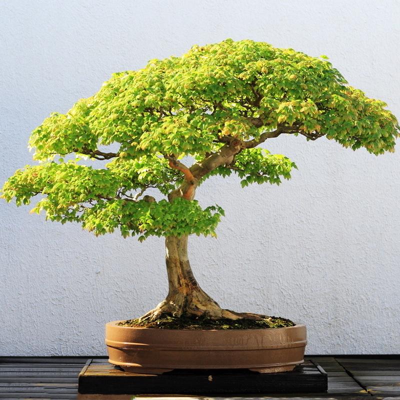 Verde de arce japon s compra lotes baratos de verde de for Plantas para jardin japones