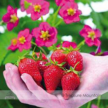 Buy Toscana F1 Fleurostar Strawberry Seeds, 1 Professional Pack, 100 Seeds / Pack, Large Deep Rose Cone Shaped Fruit Flowers #NF521 for $1.36 in AliExpress store