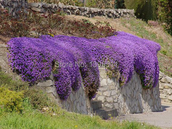 100 Rock Cress Aubrieta Cascade Purple FLOWER SEEDS Deer Resistant Superb perennial ground cover flower seeds